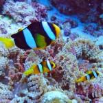 anemone-fishes-maldives