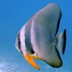batfish-maldives