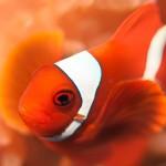 clown-fish-maldives