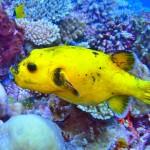 pufferfish-maldives
