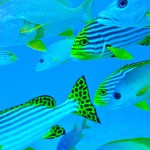 schooling-fishes-maldives