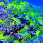 schooling-fishes2-maldives