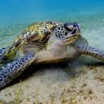 turtle-maldives1