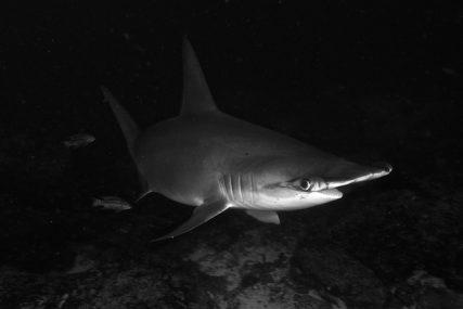 Hammerhead Shark Maldives